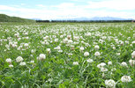 Capturing the true value of white clover