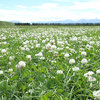 Re-learning the lost art of cultivating clover