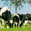 Late rassen passen beter bij huidige melkveehouderij