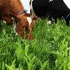 Gras-voederkruiden voor duurzame melkveehouderij