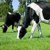 Focus auf Qualität der Futtergräser verringert die Futterkosten für Milchviehbetriebe