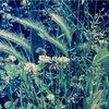 Barley grass (Critesion sp.)