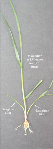 How to graze ryegrass correctly
