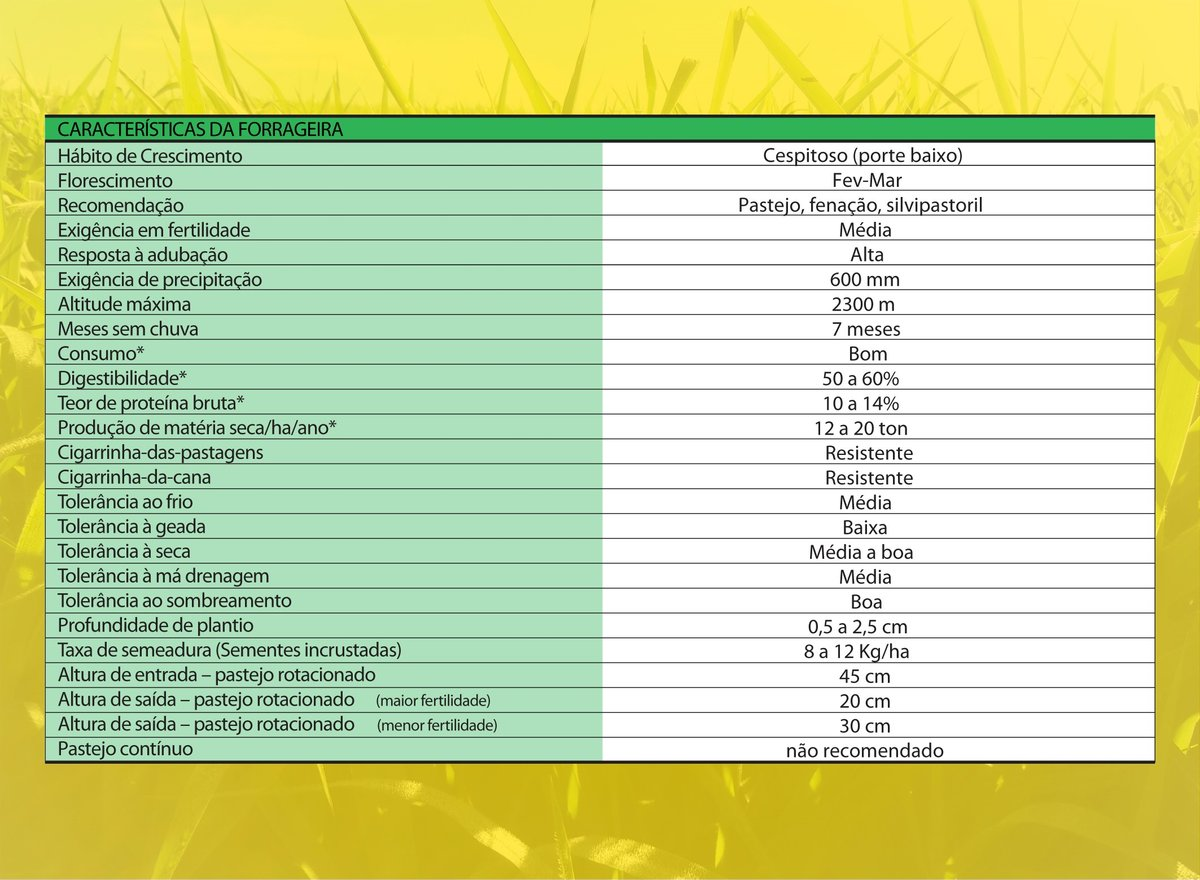 Cultivar Massai: características