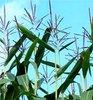DLV Plant verwelkomt Barraco op de maisrassenlijst