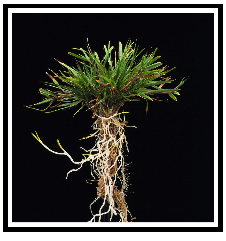 Gewoon struisgras, Agrostis Capillaris
