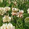 Successful clover growing? Here's how!
