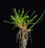 Poa Pratensis plant