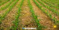 Semente incrustada melhora formação do pasto e reduz custo do produtor