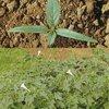 Thorn apple (Datura stramonium)