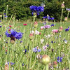 Wildflower Planting Advice