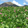 In clover: new red bred for better grazing