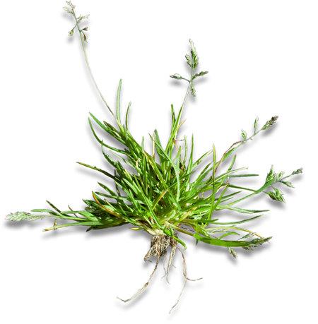 Plant Poa annua/straatgras