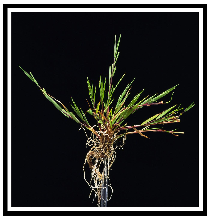 Wit struisgras, Agrostis stolonifera