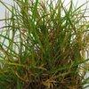 Browntop (Agrostis capillaris)