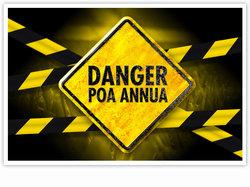 Danger Annual meadow grass!