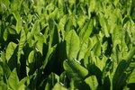 501 Chicory