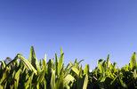 Innovative high yielding plantain now available.