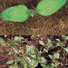 Nightshade (black) (Solanum nigrum)