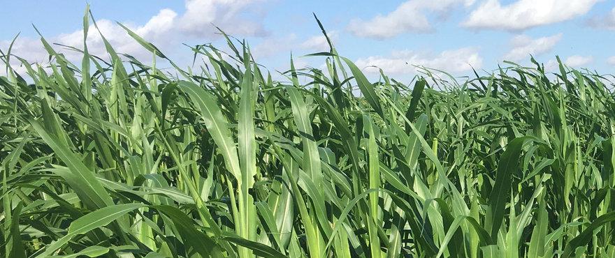 Barenbrug Heritage Seeds // Forage & Pasture > Forage Crops