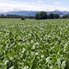Grass into Gold: 501 Chicory comes into its own in a dry summer