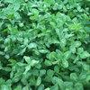 Koniczyna czerwona - cenna roślina pastewna.