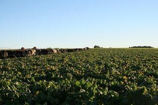 cows grazing fodder beet