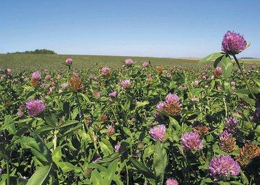 Barenbrug Heritage Seeds Forage Pasture Clover Pasture Legumes