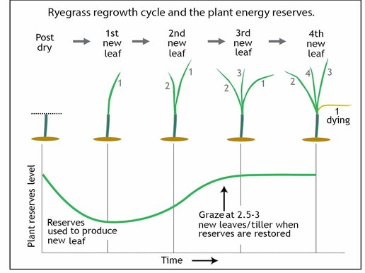 grazing at 2 5 - 3 leaves per tiller allows for plant energy reserves to be  replenished, whereas grazing too early (< 2 leaves/tiller are present) or  too