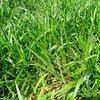 Novo cultivar é a opção ideal para quem deseja maior produtividade e rentabilidade no campo