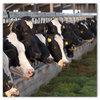 Gezonde koeien met Bonsilage Fit mais