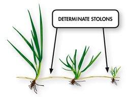 Determinate stolons