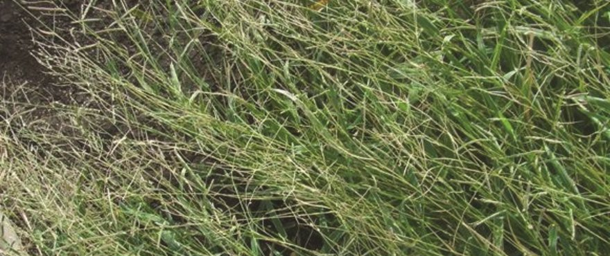 Barenbrug Heritage Seeds // Forage & Pasture > Tropical Grasses