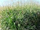 Estiagem prejudica safra de sementes de capim