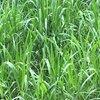 Pecuarista do Pará destaca excelentes resultados do cultivar Sabiá, a nova Brachiaria desenvolvida pela Barenbrug