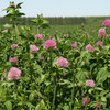 Red clover revival