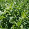 Technologia uprawy lucerny