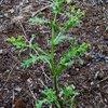 Groundsel (Senecio vulgaris)